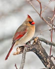 Female Cardinal Bird Winter