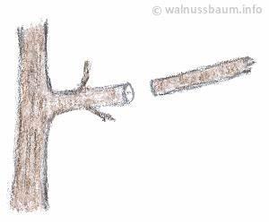 Wann Schneidet Man Hortensien Zurück : walnussbaum schneiden ~ Eleganceandgraceweddings.com Haus und Dekorationen