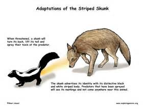 Striped Skunk Adaptations
