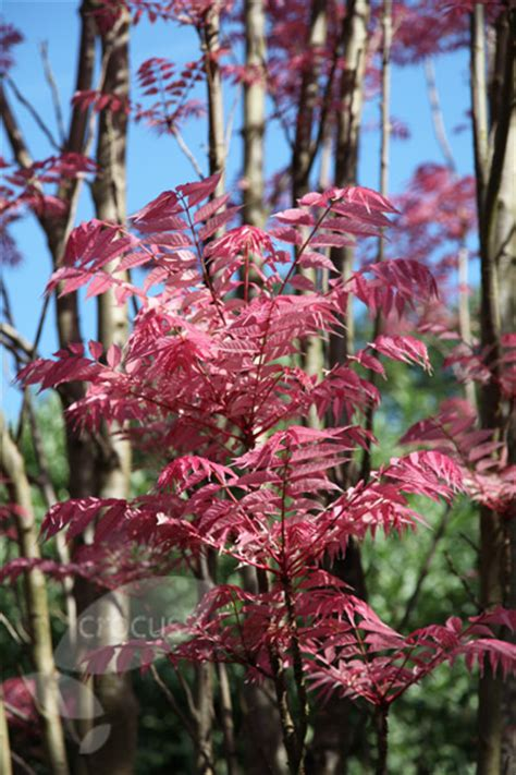 Buy Chinese mahogany Toona sinensis 'Flamingo': Delivery