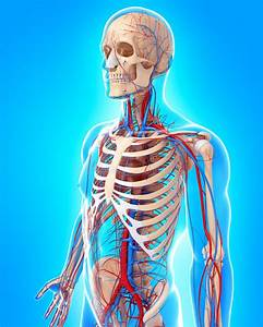 Circulatory System Of Male Body Side View Stock