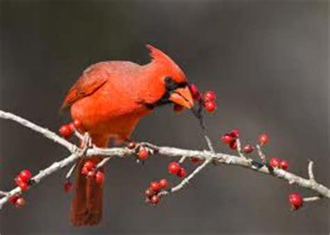 cardinals fun facts for kids
