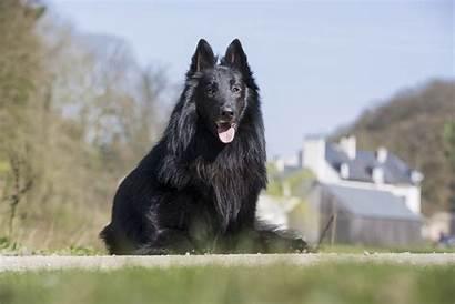 Dog Breeds Groenendael Belgian Sheepdog Droit