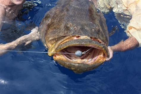 grouper goliath fish dream living charters