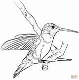 Coloring Hummingbird Hummingbirds Printable Kolibri Chinned Koliber Tegninger Bird Colors Supercoloring Humming Sheets Sunflower Koliberek Colouring Drawing Birds Drukuj Til sketch template