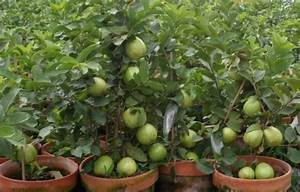 Guava Cultivation Information Guide