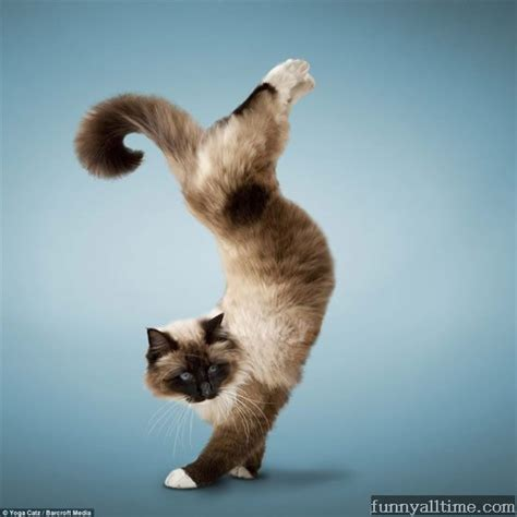 yoga cats part ii funny   time