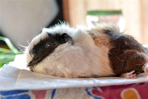 guinea senior pig caring care