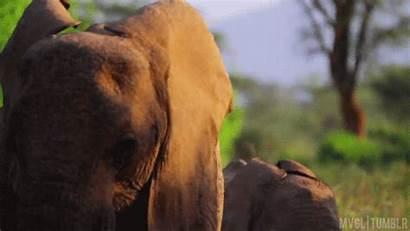 Elephant Animal Animated Animals Wild Creatures Appreciation