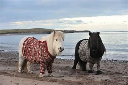 Ponies Shetland Sweaters Scottish Adorable Cardigan Photographs