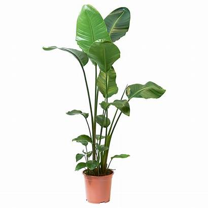 Plant Strelitzia Potted Ikea Bird Paradise Pot