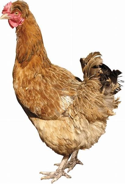 Chicken Background Hen Transparent Clipart Chiken Without