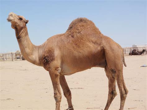 arabian camel saudi arabia national animal wallpapers