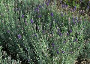 Lavendel Sorten übersicht : balkonblumen im oktober 32 lavendual angustifolia ellegance puple echter lavendel ~ Eleganceandgraceweddings.com Haus und Dekorationen