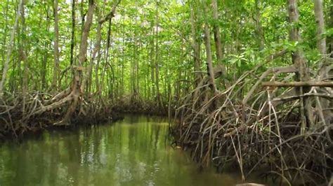 Sea-Level Rise Puts Indo-Pacific Mangrove Forests at Risk