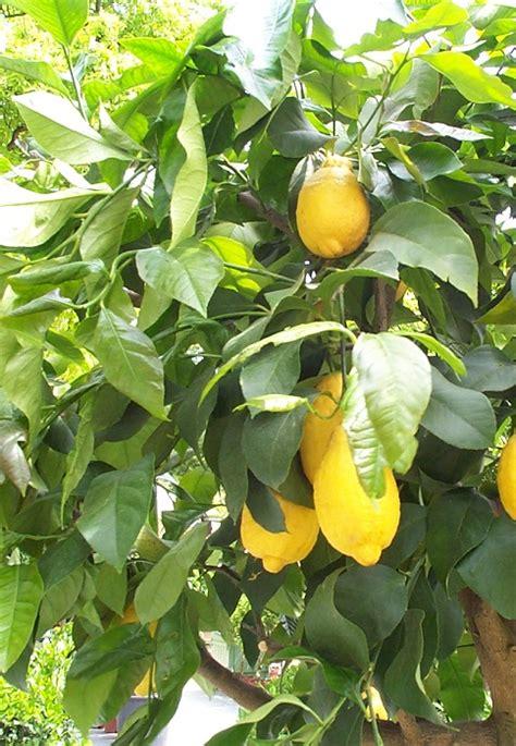 planter les agrumes orangers citronniers le magazine gamm vert