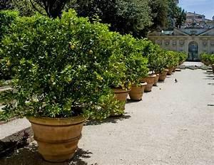 Planter Un Citronnier : comment rempoter un citronnier image intitule plant a ~ Melissatoandfro.com Idées de Décoration