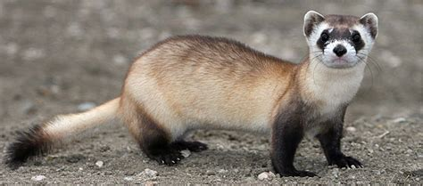 saving  black footed ferret  extinction