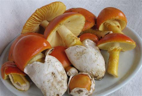 cuisiner les oronges champignons d 39 automne des oronges ou amanites des césars