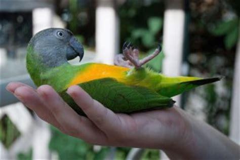 senegal parrot facts pet care housing feeding pictures