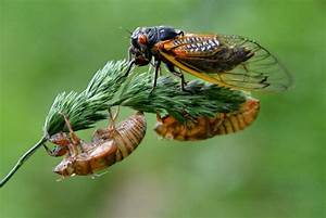 NH Photography: The 17-Year Cicadas have Emerged in Ohio ...