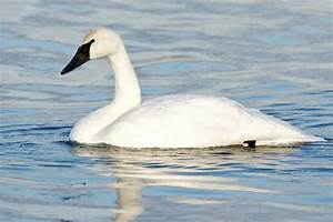 How Exactly is a Trumpeter Swan Different from a Tundra Swan?