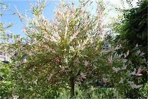 Quand Tailler Un Saule Crevette : arbres crevettes comment a des crevettes dans quand ~ Melissatoandfro.com Idées de Décoration