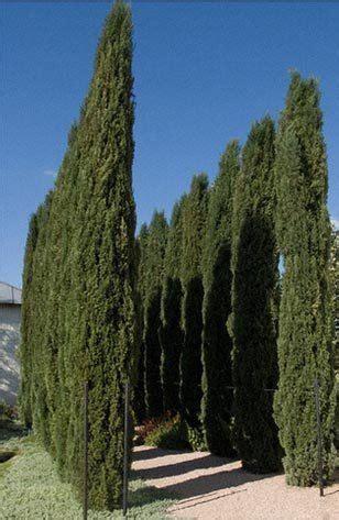 italian cypress tree dallas texas treeland nursery