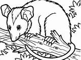 Possum Coloring Tree Opossum Pages Clip Branch Drawing Sitting Printable Colouring Cute Template Getcoloringpages Mask Getdrawings Clipartmag Sketch sketch template