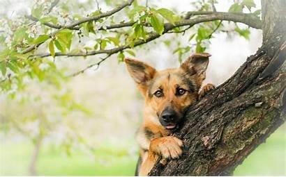 German Shepherd Wallpapers Puppies Desktop Backgrounds Puppy