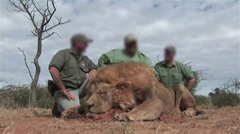 lion hunters  south africa shooting tame animals