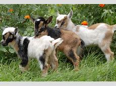 State Police Searching for Stolen Goats exploreVenangocom