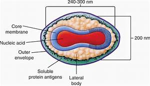11 Poxviruses