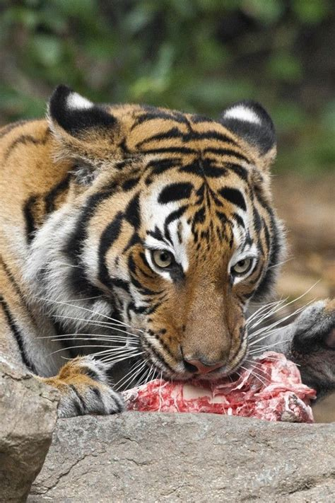 tigers tongue  covered  small hard hooked bumps
