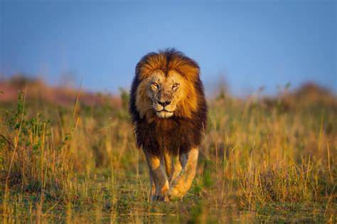 Animals, Wildlife, Lion, Nature Wallpapers Hd / Desktop