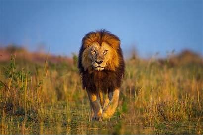 Lion Animals Wildlife Nature Desktop Wallpapers Mobile