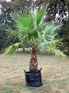 Palmen Für Den Garten : palmen pflege mediterranen pflanzen im garten bambus und pflanzenshop ~ Sanjose-hotels-ca.com Haus und Dekorationen