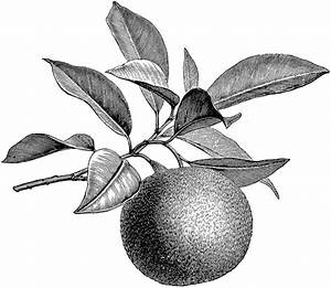 Fruiting Branch of Orange | ClipArt ETC