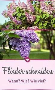 Flieder Schneiden Video : wie sie ihren flieder richtig schneiden und pflegen gr npflanzen pinterest garten garten ~ Orissabook.com Haus und Dekorationen