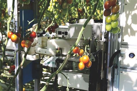 introducing ai equipped tomato harvesting robots  farms