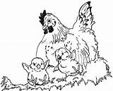 Hen Chicks Coloring Chicken Hens Pages Chook Colouring Chickens Nest Colour Printable Wings Under Chooks Brood Little Sketch Comments Popular sketch template