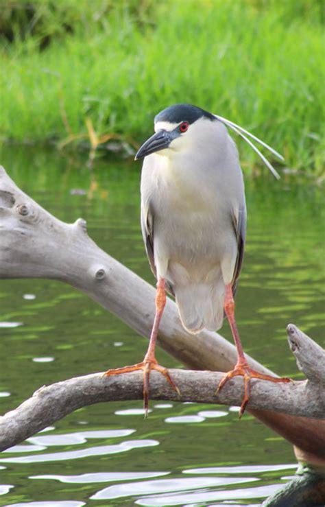 wetlands restoration  kawainui  hamakua marshes
