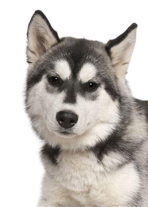 exclusive siberian husky dog  golfiancom