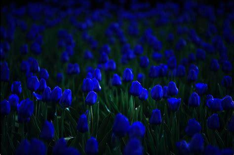 blue tulip seed  bonsai  home garden  aliexpress