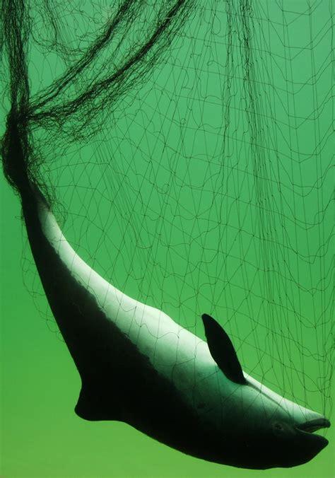 bycatch ascobans