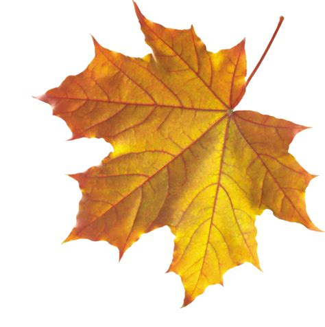 Fall Backgrounds Realistic by Realistic Autumn Fall Leaves Png For Designing
