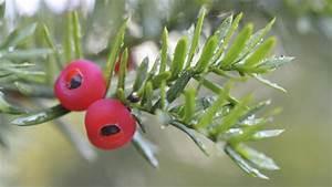 Strauch Mit Roten Beeren Im Winter : darum ist die eibe so giftig ~ Frokenaadalensverden.com Haus und Dekorationen