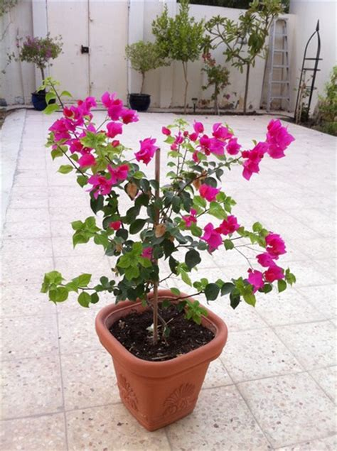 potted bougainvillea grows on you