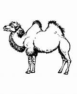 Camel Coloring Pages Printable Hump Drawing Animals Wild Sheet Humps Different Coloringpages101 Getdrawings Honkingdonkey sketch template