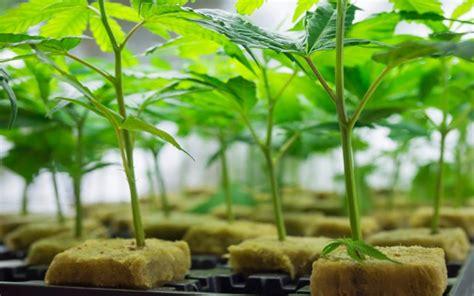 Simple Steps Cloning Marijuana The Times